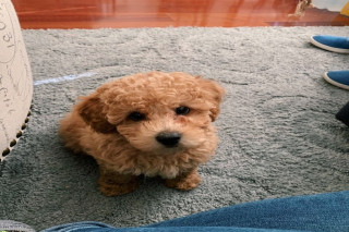 Quality maltipoo puppies ready for new home