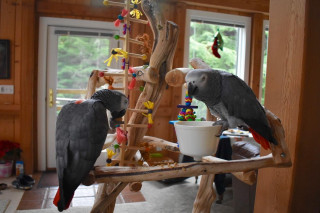 Top quality African Grey parrot Comes with cage.